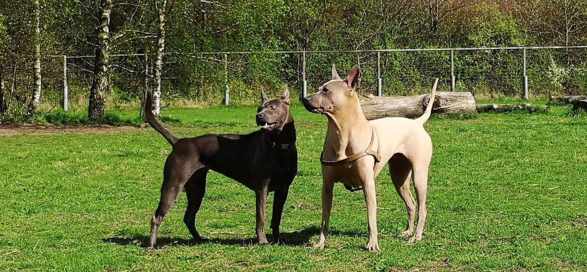 Thai-Ridgeback Dog